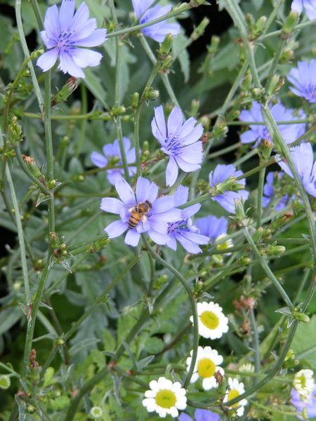 how to grow chicory root
